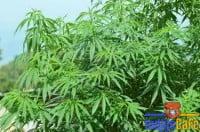 marihuana-575x380