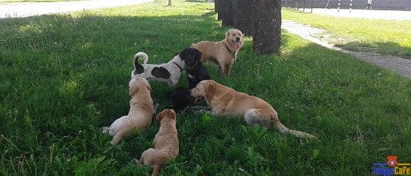 Psi lutalice haraju Indjijom